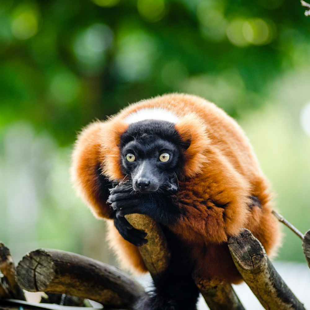 Madagaskar aap